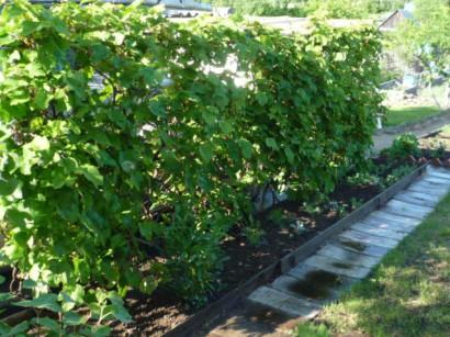 пергола садовая для винограда1