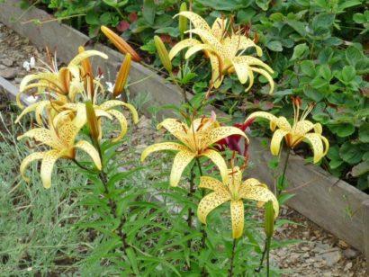 цветок лилия на даче