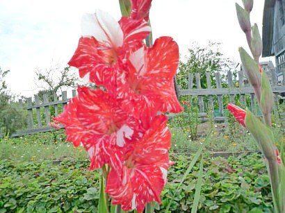 tsvetyi-gladiolusyi-2