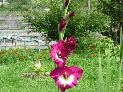 tsvetyi-gladiolusyi-5