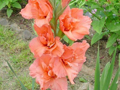 tsvetyi-gladiolusyi-7