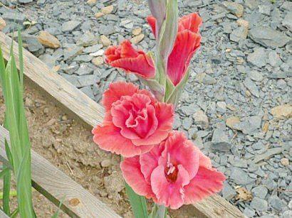tsvetyi-gladiolusyi-8