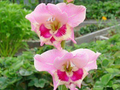 tsvetyi-gladiolusyi-9