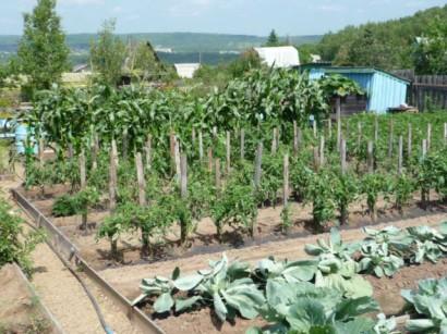 выращивание помидоров в открытом грунте на даче1