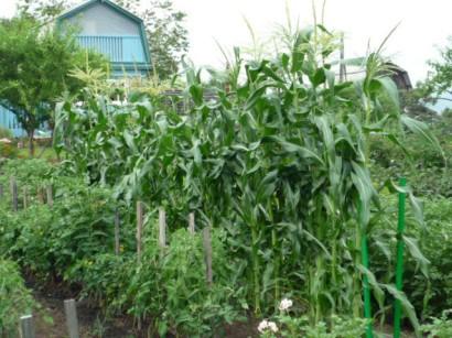 выращивание помидоров в открытом грунте на даче2