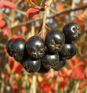 Компот из черноплодки на зиму (рецепты) — один рецепт без стерилизации!