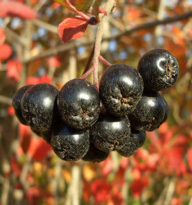 компот из черноплодки на зиму рецепты