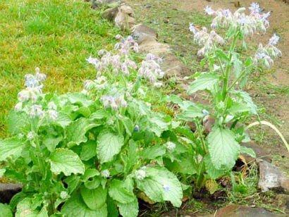 Огуречная трава как сажать 49