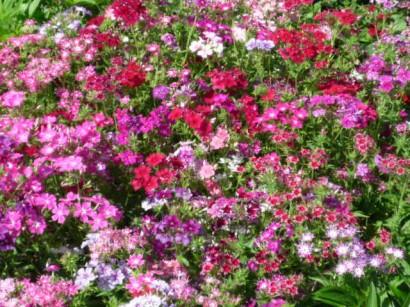 цветы флоксы посадка1