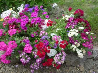 цветы флоксы посадка2