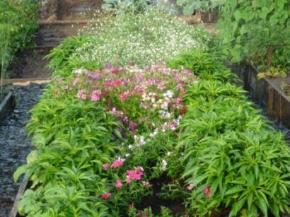 цветы флоксы посадка3