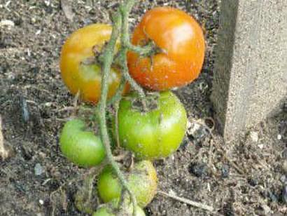 varene-iz-zelenyih-pomidor-s-orehami-1