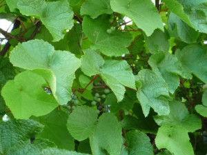 виноградные листья на зиму