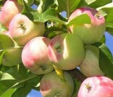 яблочный компот на зиму рецепт2