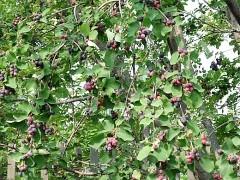 уход за деревьями и кустарниками осенью 1