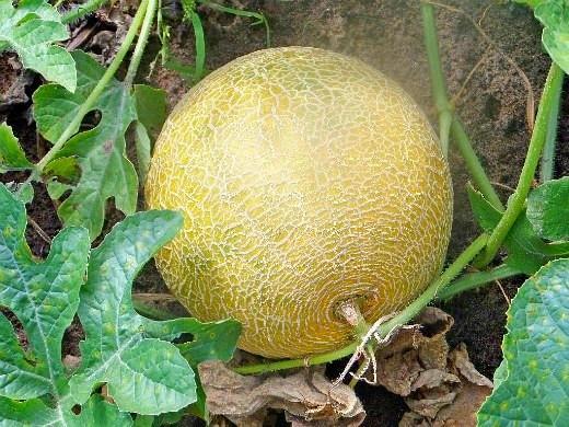 Сорта дыни для выращивания в сибири 14
