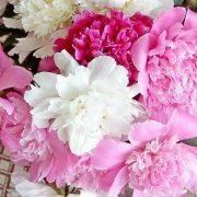 цветы пионы, посадки - фото 1