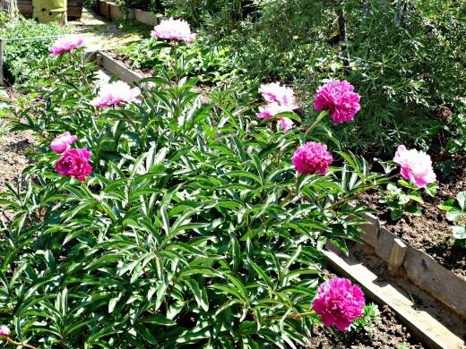 цветы пионы, посадки - фото, на дачной клумбе