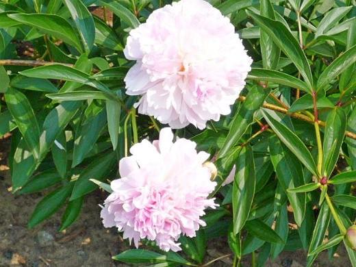 цветы пионы, посадки - фото, розовые