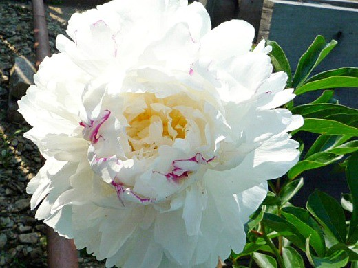 цветы пионы, посадки - фото, белоснежные с красным вкраплением