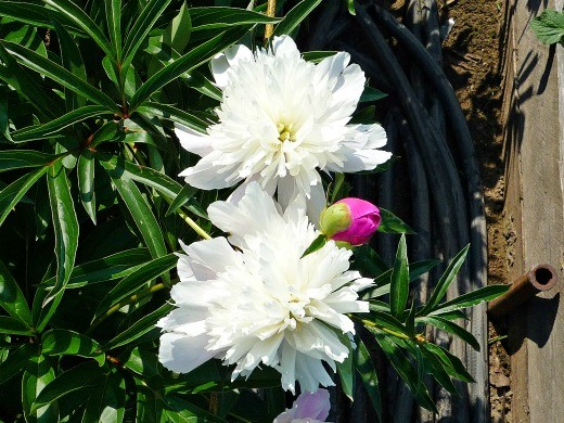 цветы пионы, посадки - фото, с горьким запахом
