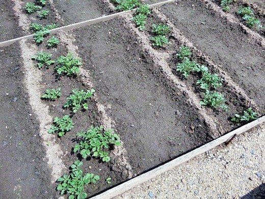 узкие гряды на 8 сотках - картофель