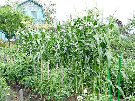 узкие гряды на 8 сотках - кукуруза на огороде