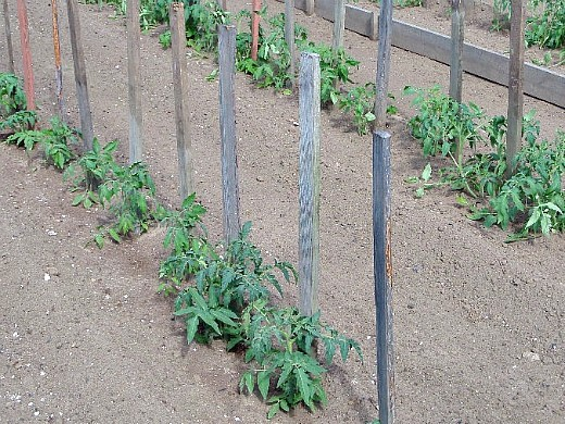 узкие гряды на 8 сотках - помидоры