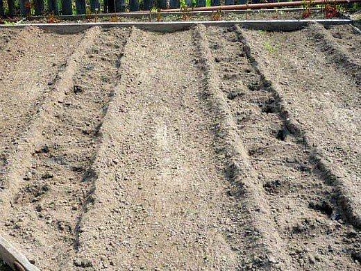узкие гряды на 8 сотках - слегка засыпаем картофель землей
