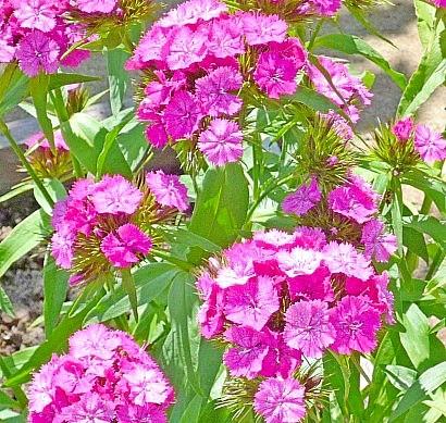 гвоздика турецкая махровая - цветы