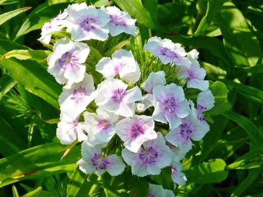 гвоздика турецкая махровая - дачные цветы