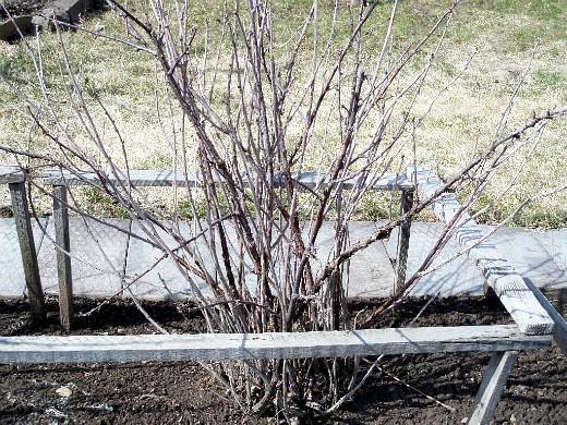 обрезка смородины осенью, весной 2