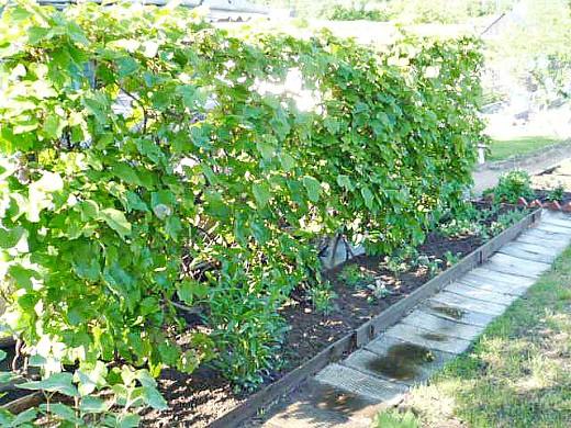 пергола садовая для винограда 1-1