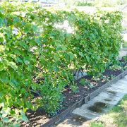 пергола садовая для винограда 1-2