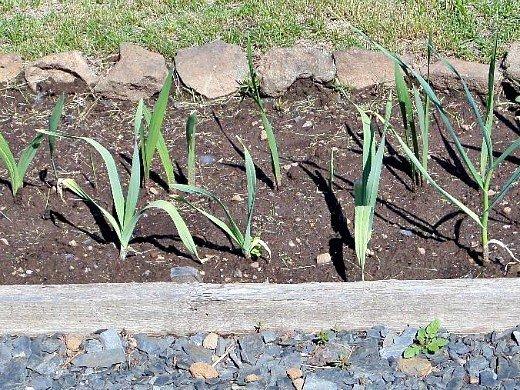 смешанные (уплотненные) посевы - чеснок и гладиолусы