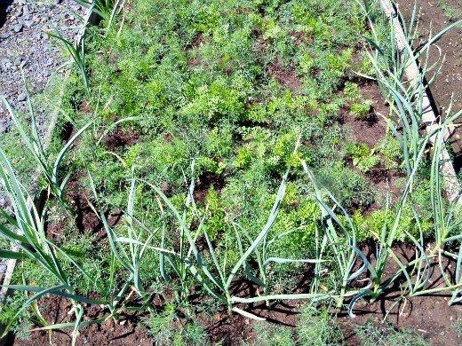 смешанные (уплотненные) посевы - чеснок и морковь