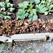 смешанные (уплотненные) посевы - кабачки и салат