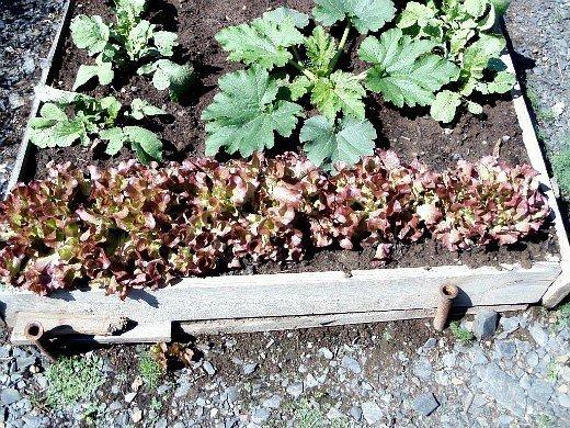 смешанные (уплотненные) посевы - кабачки, редис и салат