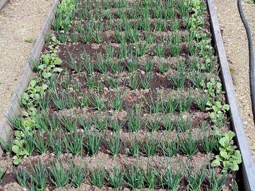 смешанные (уплотненные) посевы - лук-севок и редис