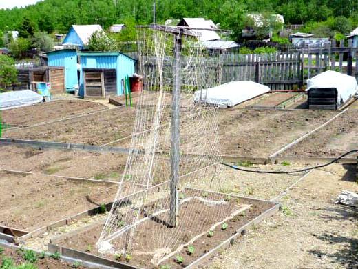 спаржевая фасоль выращивание, уход 1-3