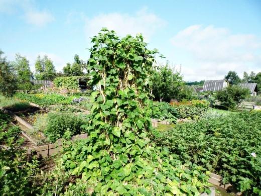 спаржевая фасоль, выращивание, уход 1-7