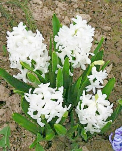 цветок гиацинт белый