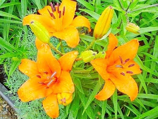 цветок лилия на даче, оранжевый