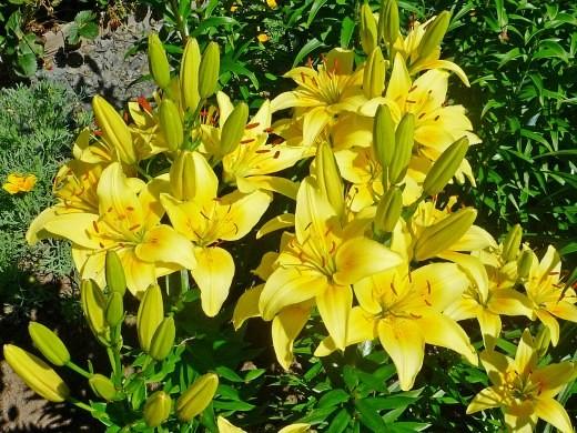 цветок лилия на даче, желтые цветы