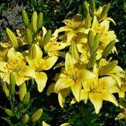 цветок лилия на даче 5-1