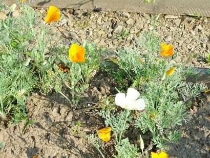 цветы эшшольция 4