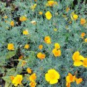 цветы эшшольция 7