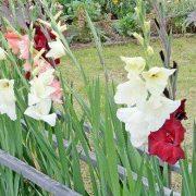цветы гладиолусы 1-1