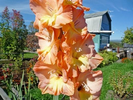 цветы гладиолусы желто-оранжевые махровые