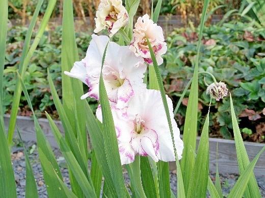цветы гладиолусы розовые с крапинкой